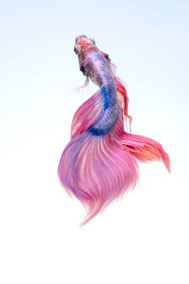Betta Fish Notebook Cover Image