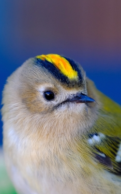 Notebook: Goldcrest Bird Small Birds Gold Crest Cover Image