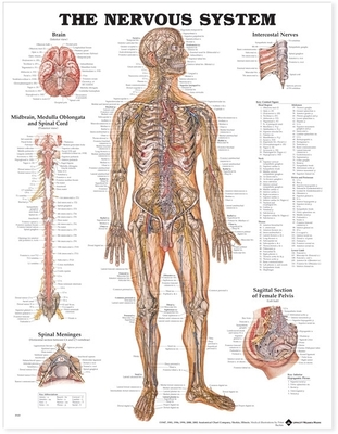 The Nervous System Anatomical Chart Cover Image