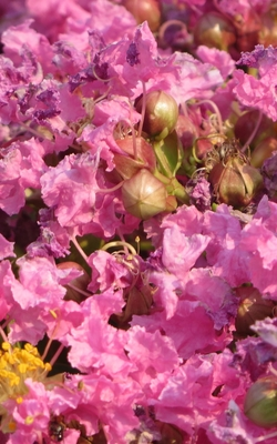 Notebook: dwarf crepe myrtle tree pink flowers Cover Image