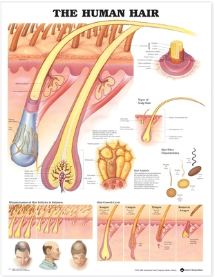 The Human Hair Anatomical Chart Cover Image