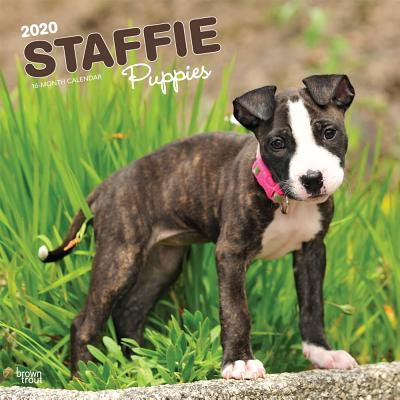 Staffordshire Bull Terrier Puppies 2020 Square Btuk Cover Image