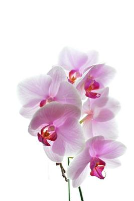 Orchids Notebook Cover Image
