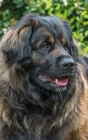Notebook: Leonberger Giant Dog Dogs Puppy Puppies Breed Cover Image