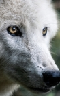 Notebook: wolf predator wolves mammals creature nature Cover Image