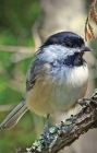 Chickadee Lined Journal (Nodin Press Blank Journals) Cover Image