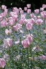 Tulips Notebook Cover Image