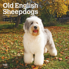 Old English Sheepdogs 2021 Square Cover Image