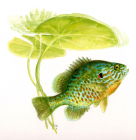 ROM Field Guide to Freshwater Fishes of Ontario, Second Edition? Cover Image