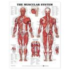 The Muscular System Anatomical Chart Cover Image