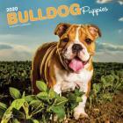 Bulldog Puppies 2020 Square Cover Image