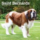 Saint Bernards 2020 Square Cover Image