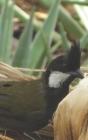 Notebook: Eastern Whipbird Australian Wildlife Cover Image