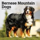 Bernese Mountain Dogs 2020 Square Cover Image