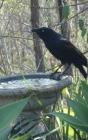 Notebook: Australian Black Crow Drinking Bird Bath Cover Image