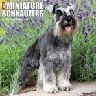 Just Miniature Schnauzers 2021 Wall Calendar (Dog Breed Calendar) Cover Image