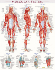 Muscular System Poster (22 X 28 Inches) - Laminated: A Quickstudy Anatomy Reference Cover Image