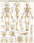 Skeletal System Poster (22 X 28 Inches) - Laminated: A Quickstudy Anatomy Reference Cover Image