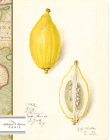 Citrus: Watercolors of Lemons by Amanda Almira Newton (1860-1943) Cover Image