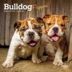 Bulldog Puppies 2020 Mini 7x7 Cover Image