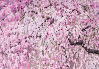 Cherry Blossoms Note Cards Cover Image