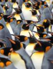 A Plethera of Penguins Notebook Cover Image