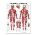 The Muscular System Giant Chart Cover Image