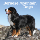 Bernese Mountain Dogs 2021 Square Cover Image