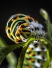 Notebook: swallowtail caterpillar butterfly garden butterflies Cover Image