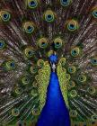 Peacock Notebook Large Size 8.5 x 11 Ruled 150 Pages Softcover Cover Image
