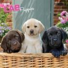 Labrador Retriever Puppies 2019 Square Cover Image