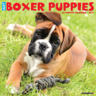 Just Boxer Puppies 2021 Wall Calendar (Dog Breed Calendar) Cover Image
