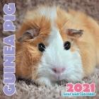 Guinea Pig 2021 Mini Wall Calendar Cover Image