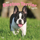 Boston Terrier Puppies 2021 Square Cover Image