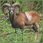 mouflon: 2021 Wall & Office Calendar, 12 Month Calendar Cover Image