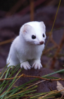 Short-Tailed Weasel Blank Journal (Nodin Press Blank Journals) Cover Image