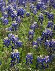 Bluebonnets Notebook Large Size 8.5 x 11 Ruled 150 Pages Softcover Cover Image