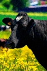 Cow Notebook: A5 Lined Notepad - Journal for Women, Men, Teens and Kids. A Beautiful Gift Idea for Animal Lover Cover Image